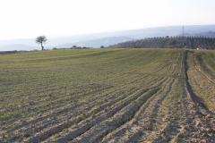 Campo di grano germinato